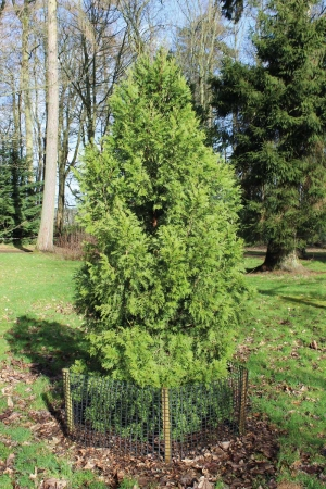 Small bushy Austrocedrus chilensis tree